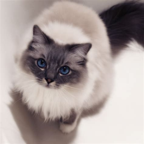 a ragdoll to ragdoll cats pets and docile