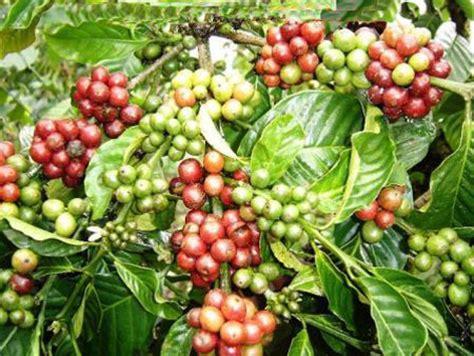 tanaman kopi artikel sudarminto setyo yuwono
