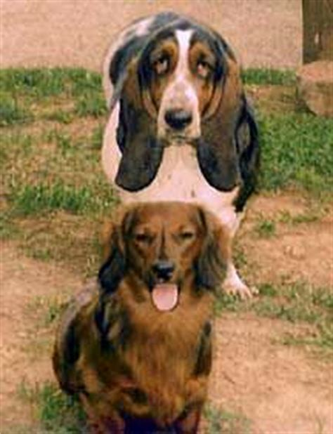 How Much Do Basset Hounds Shed by A With Much Shedding Nzymes