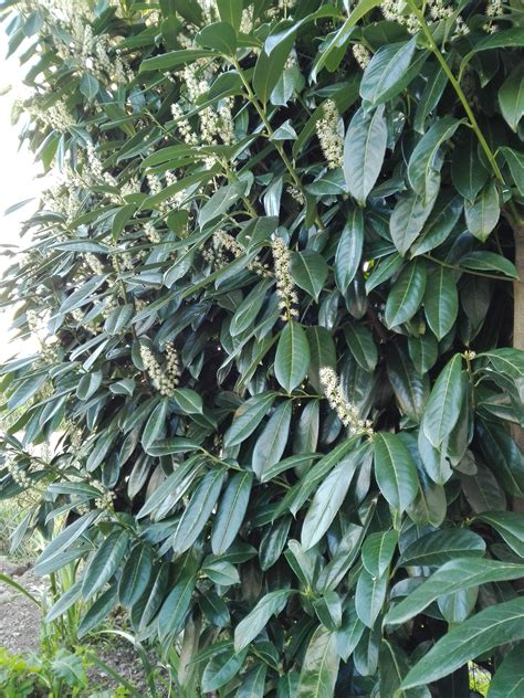 Kirschlorbeer Prunus Laurocerasus 263 by Pin By Landscape Architect On Prunus Laurocerasus L
