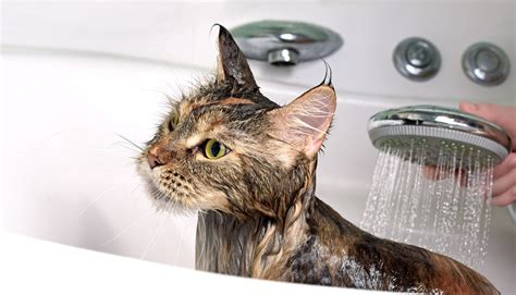 why do cats like bathtubs do cats need baths should i give my cat a bath ready