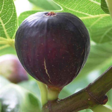 pianta di fico in vaso pianta di fico alberi da frutta pianta di fico