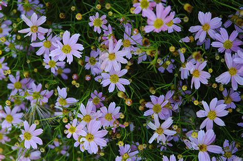 planet color mokena pink tickseed coreopsis rosea in mokena tinley orland