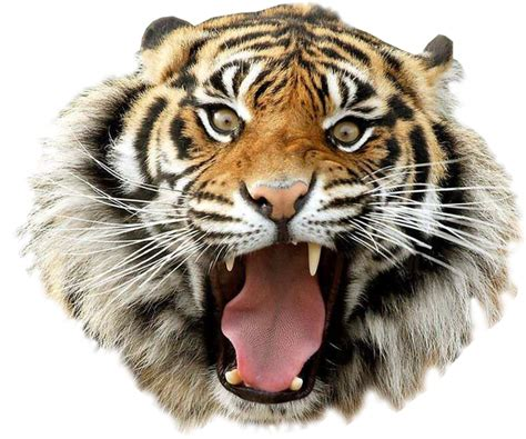 Carset 3in1 Animal Print angry tiger transparent background