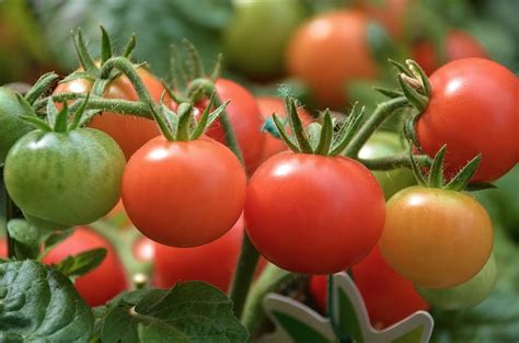 top 5 secrets to successful tomato growing home and