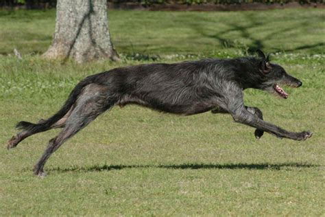 scottish deerhound puppies scottish deerhound puppies for sale from reputable breeders
