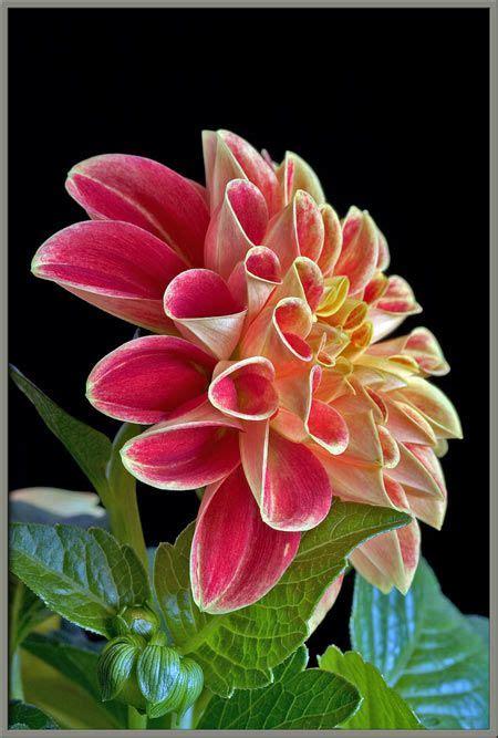 Madu Bihophar Summer Flower 17 best images about flowers dahlia delight on beautiful the plant and dahlias