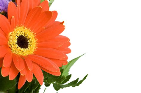 download wallpaper cantik free flower red free stock photo close up of a red gerbera