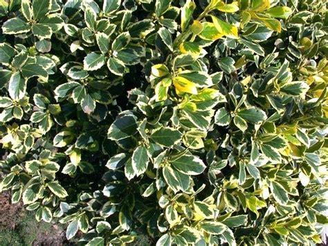 piante da vaso per esterni piante sempreverdi da vaso piante sempreverdi da vaso