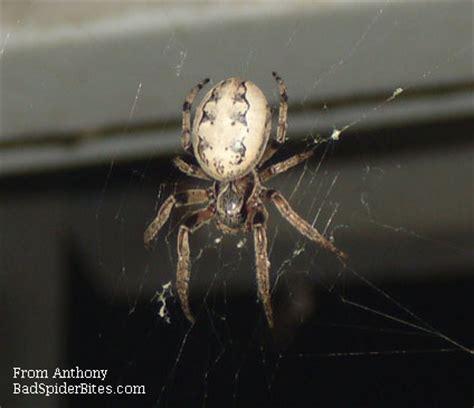 Garden Spider With White Bum Spider Identification
