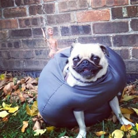wrecking pug pug dresses up like wrecking wins world wide web the gossip