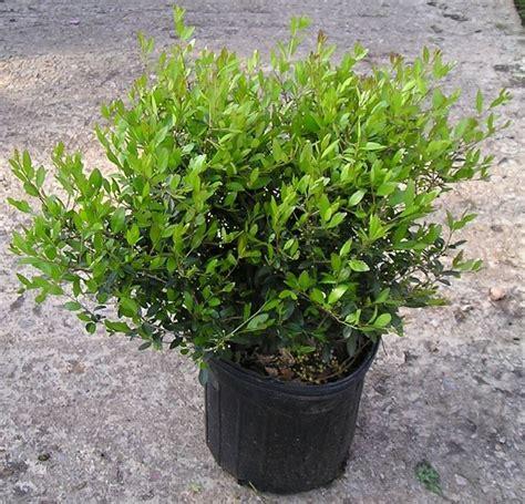 arbusti sempreverdi da terrazzo arbusti sempreverdi piante perenni piante arbusti
