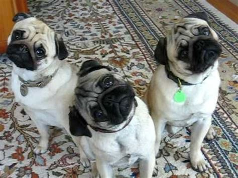 why should i get a pug 12 reasons why you should never own pugs