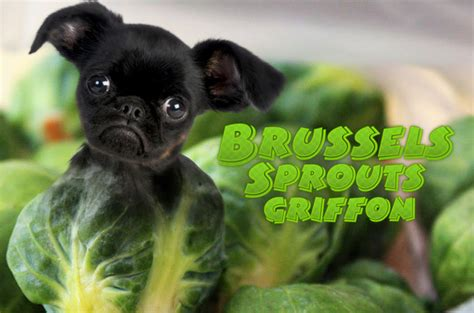 dogs brussel sprouts top 5 wacky wisdom panel mixed breeds