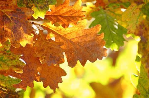 oak leaves autumn fall foliage  photo  pixabay