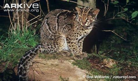 Pola Kulit Macan Harimau kucing batu pardofelis marmorata si kecil gesit