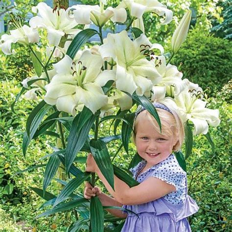 fall sale save up to 75 pretty woman lily tree 174