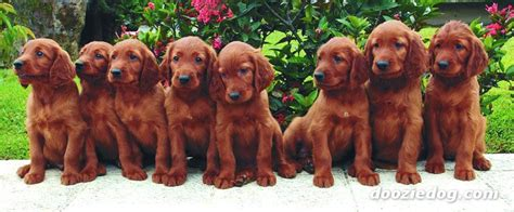 irish setter dog group 65 most adorable and cute irish setter puppies pictures