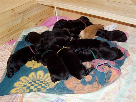 born puppies file newborn puppies jpg