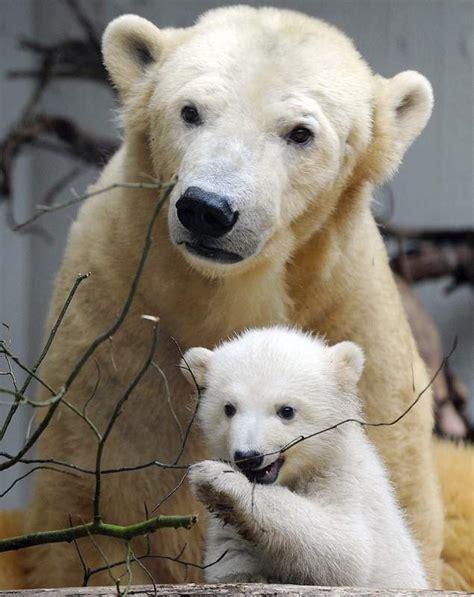 imagenes de osos navideños el secreto del oso polar contraportada diario de le 243 n