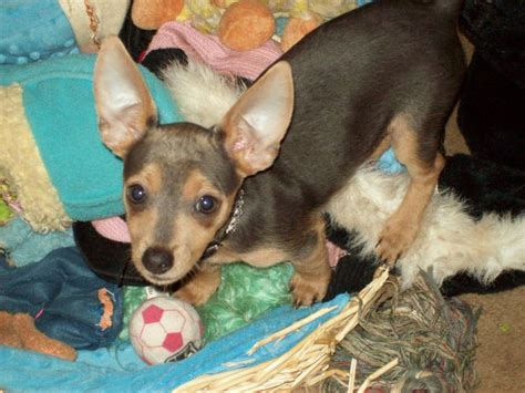 short haired chorkie chihuahuas short hairstyles and dogs on pinterest