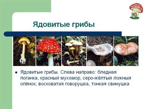 съедобные грибы презентация фото