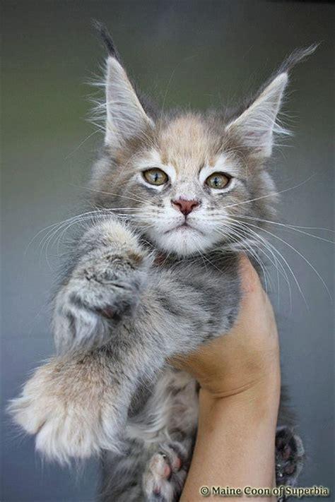 katzenklo maine coon 20 best amazing pictures of maine coon cat fallinpets