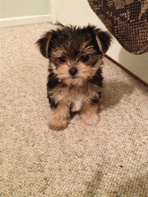 maltipoo yorkie 13 gorgeous maltese mixes and their ludicrous names
