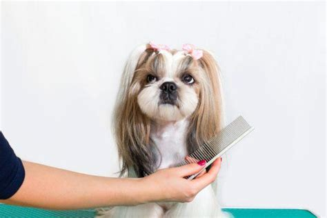 shih tzu dumbest these are probably the dumbest breeds you ll own page 14