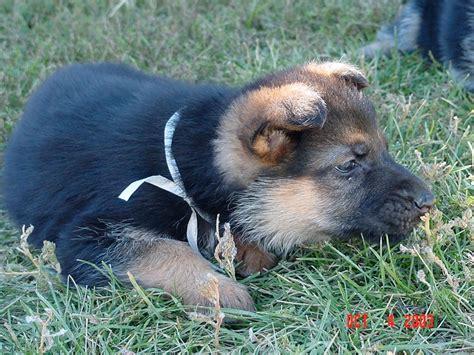 puppy growing pains german shepherd growing pains