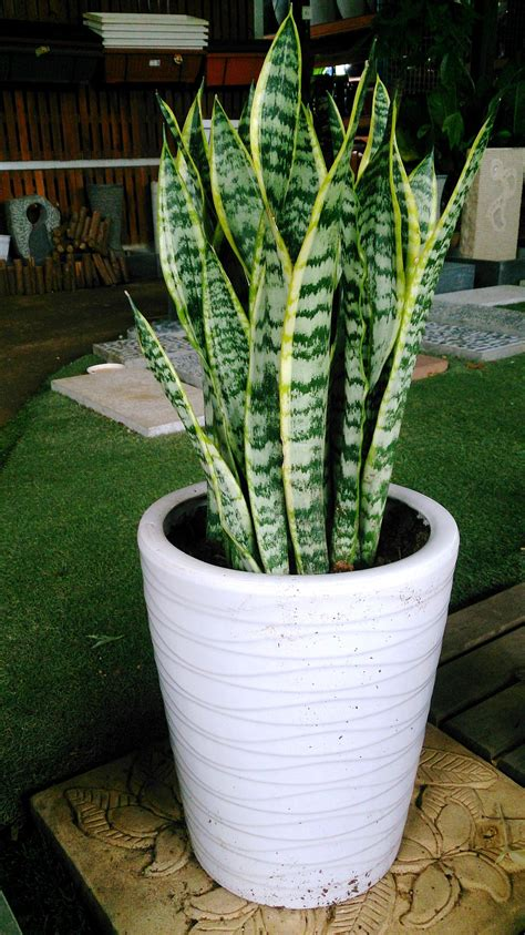 top 28 snake plant sansevieria trifasciata laurentii buy mother in law s tongue variegated
