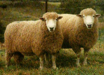 austrailian sheep 06 171 december 171 2009 171 quierosaber s