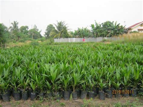 Bibit Sawit Ppks sumber benih nisrina agro