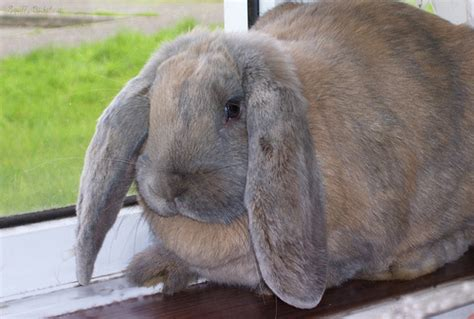 format lop travel flopsy my giant french lop flickr photo sharing