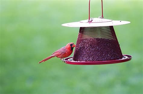 how to attract cardinals to your yard 5 things you ll