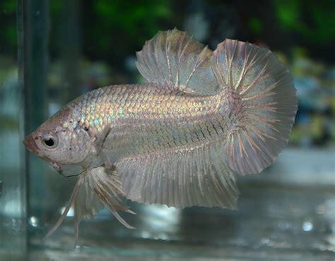 Betta Gold Size S betta fish afira december 2012