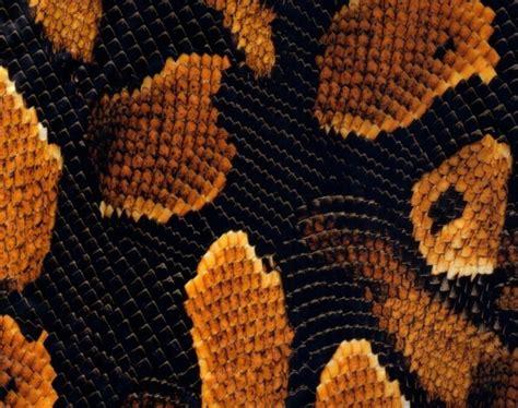yellow boa snake skin 50cm emerald coatings