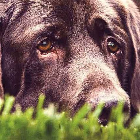 nuclear sclerosis in dogs common eyelid problems common in specific breeds petcarerx