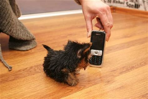 world s smallest puppy terrier meysi is the world s smallest damn cool pictures