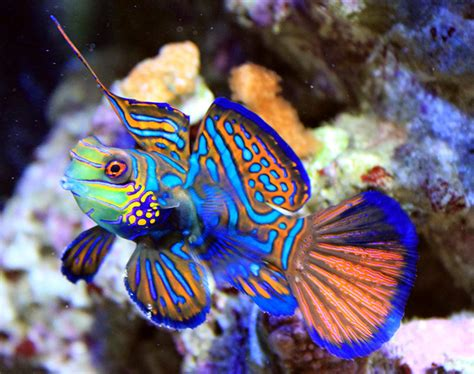 aquarium fish mandarin fish pets cute and docile