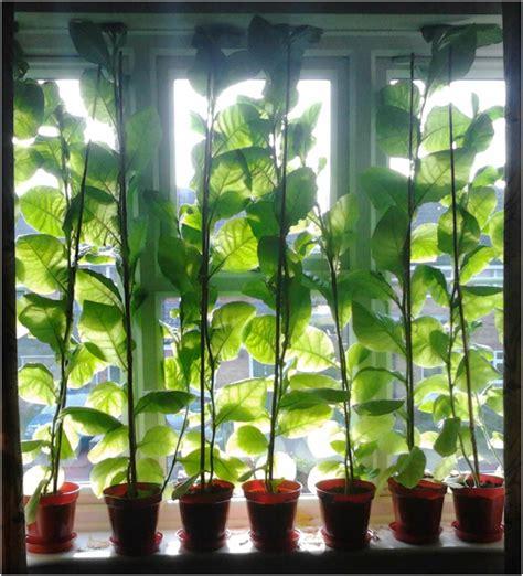 Fenster Sichtschutz Pflanzen by Sichtschutz F 252 R Fenster 13 Originelle Und Schnell