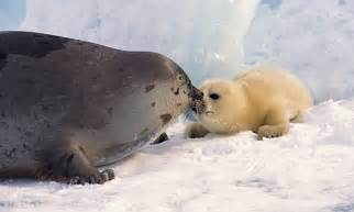 Harp Seal   Facts, Diet & Habitat Information