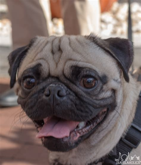 the pug dc pugs take dc 2017 photo gallery