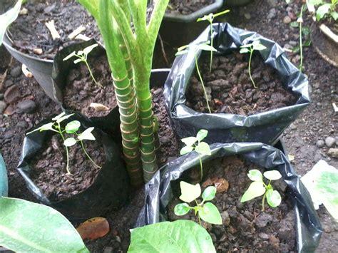 Bibit Buah Pepaya cara menanam benih dan bibit pepaya california madiun