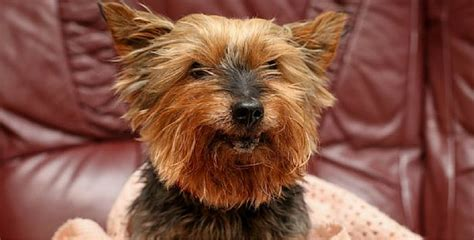 arthritis in yorkies 26 yr is oldest in britain despite tragic past