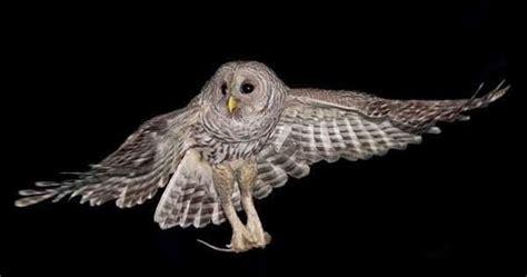 Jual Pakan Burung Hantu habitat dan makanan burung hantu barred