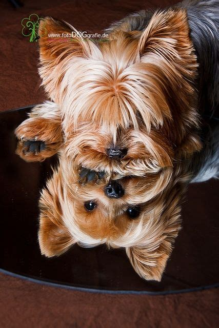 my yorkie is not i am going to take this picture of my yorkie this weekend she is getting haircut