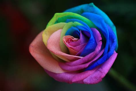 Box A Single Rainbow Multicolor Happy Preserved Flower rainbow roses are special flowers for the special in your times