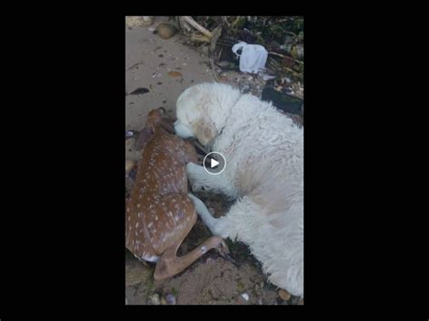 golden retriever saves deer golden retriever jumps into to save drowning deer at island