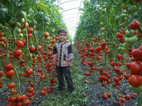Tomato Garden Ideas Tomato Garden Ideas Beautiful Tomato Garden 8 Tomato Garden Trellis Ideas Smalltowndjs How To